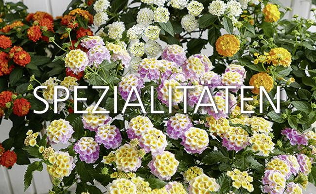Hochstämme von Martina Ziegler Gartenbau – Spezial-Kulturen 97350 Mainbernheim