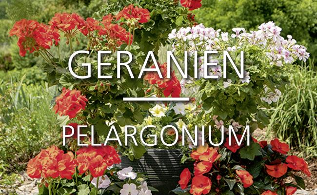 Geranien Hochstämme von Martina Ziegler Gartenbau – Spezial-Kulturen 97350 Mainbernheim
