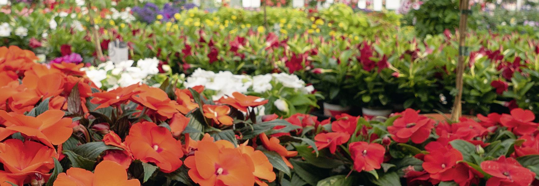 Sommerblumen von Martina Ziegler Gartenbau – Spezial-Kulturen 97350 Mainbernheim