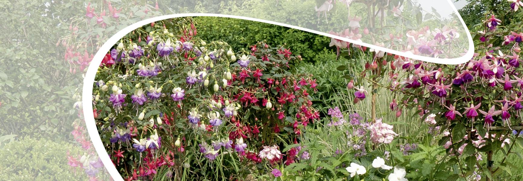 Fuchsien Hochstämme von Martina Ziegler Gartenbau – Spezial-Kulturen 97350 Mainbernheim
